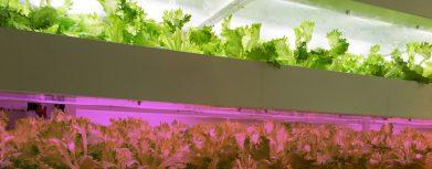Vollspektrum vs. violettes Licht was ist besser in LED Grow Lampen?