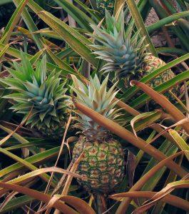 Eine Ananaspflanze