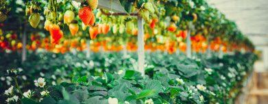 Erbeeren wachsen unter Grow LED