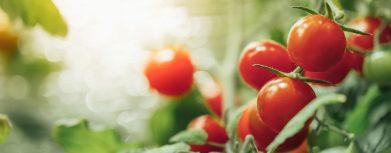 Tomatenbusch wächst unter LED Grow Lampen