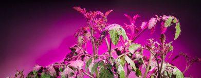 Tomaten mit LED Pflanzenlampe