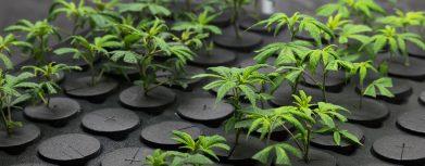 Cannabis Pflanzen Zubehör