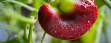 Reifender kleine rote grüne Paprika in einem Gewächshaus