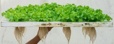 Salat in Hydrokultur