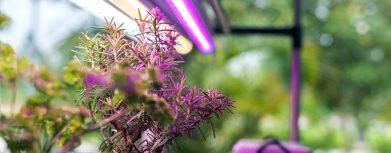Kräuter gedeihen unter LED-Licht